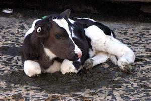 vitel laptele