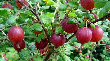 Agrisele, tonicul vacantelor de vara