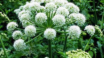 Angelica de padure, planta care trezeste organismul la o noua viata.