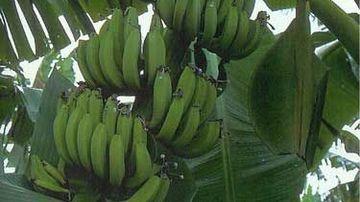 Bananierul