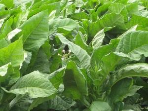 frunze de tutun
