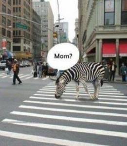 zebra lumina