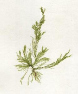 Cladophora cristalina