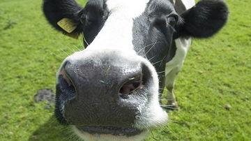De ce vaca are oase puternice si noi nu?