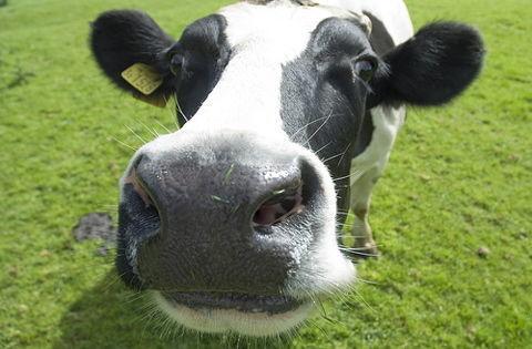 oase de vaca