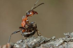 furnicile detecteaza cutremurul