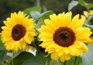 Semintele de floarea-soarelui