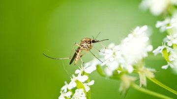 8 solutii naturale anti-țânțari