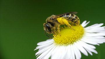 Albinele si importanta lor pentru sustinerea vietii