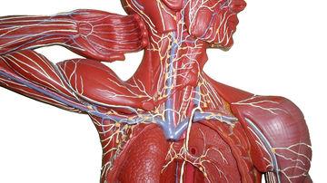 "Savantii ""redescopera"" importanta sistemului limfatic"