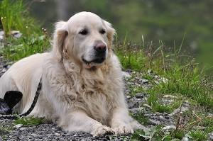 doglying