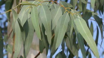 Folositi uleiul de eucalipt pentru a ucide microbii si a respira mai usor