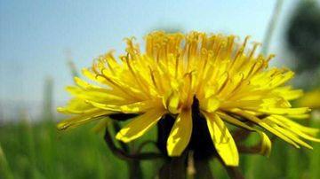 4 plante care iti curata ficatul