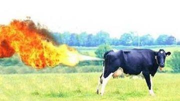 Gazele vacilor au dus la explozia unei ferme din Germania
