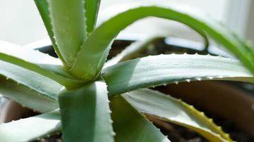 4 utilizari uimitoare pentru aloe vera