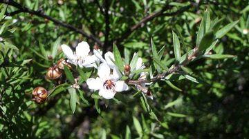 Uleiul din arbore de ceai, secretul naturii