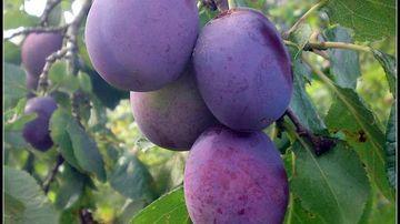 Nebun dupa prune! 8 beneficii pentru sanatate si alte lucruri fascinante.