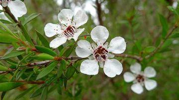 10 beneficii si utilizari ale uleiului esential din arbore de ceai