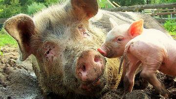 Cateva motive serioase pentru a renunta la carnea de porc