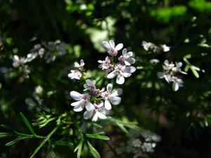 plante amare coriandru