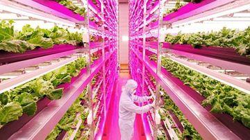 Ferma gigantica de plante din Japonia, ce poate produce 10 000 de salate pe zi