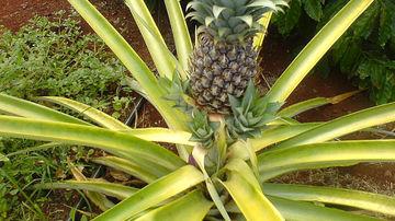 9 lucruri pe care probabil nu le stiai despre ananas