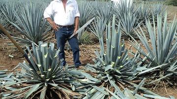 Este nectarul de agave un indulcitor mai sanatos decat zaharul?