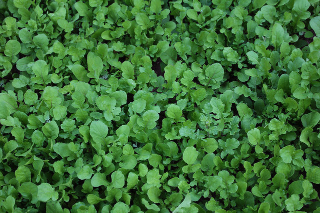 rucola cancer