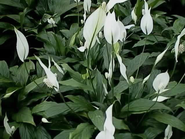spathiphyllum_floribundum plante toxine