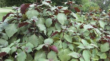 O planta mai putin cunoscuta care combate alergiile