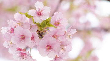 Ikigai, minunatul secret al japonezilor pentru o viata lunga si fericita