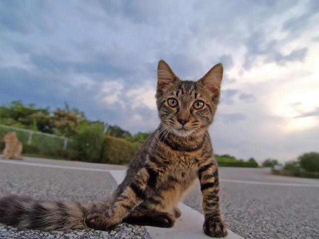 pisica coada