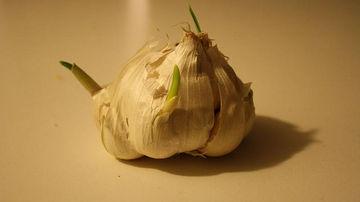 Nu arunca usturoiul incoltit - este un superaliment
