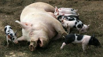 9 motive pentru a renunta definitiv la bacon
