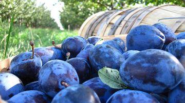 Prunele, comoara nutritiva a toamnei