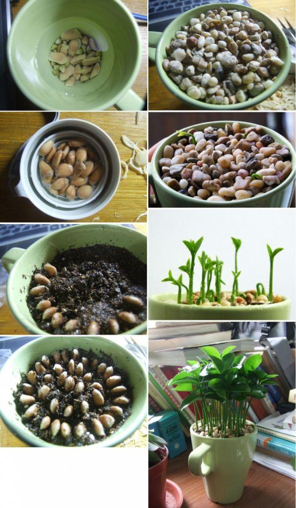 cum sa cresti un lamai din seminte