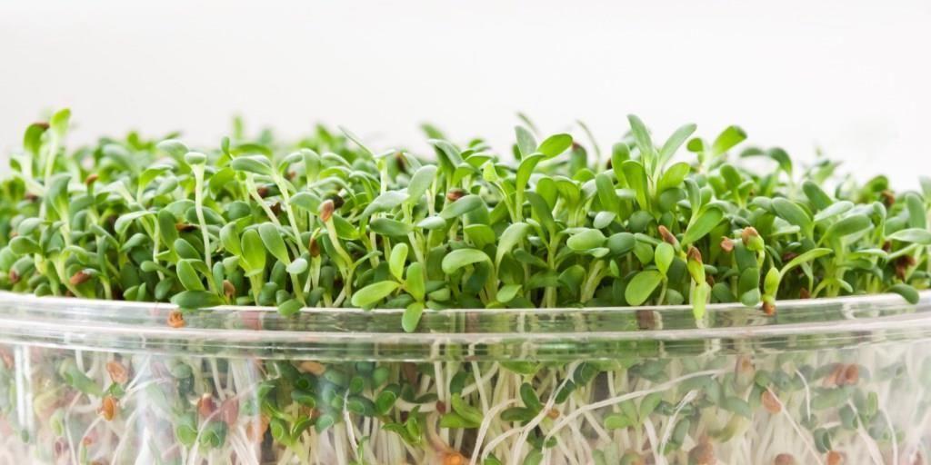 Vlastari de broccoli