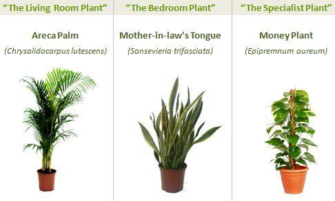 Plante care purficia aerul
