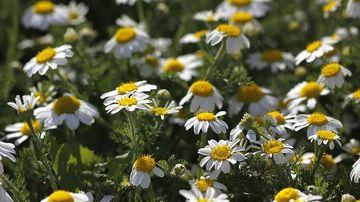 7 plante medicinale subestimate