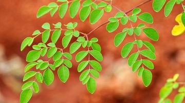Moringa, arborele miracol
