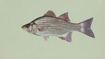 Efectele poluării: peştii masculi devin hermafrodiţi