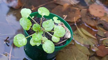 Plante medicinale - Ce beneficii ofera nasturelul?
