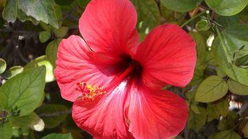 Plante medicinale - ceaiul de hibiscus scade tensiunea arteriala