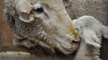 Adevarul despre animale. Ce nu stim despre oi si miei.