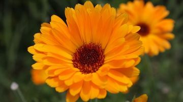 Multiplele efecte terapeutice ale florilor de galbenele (Calendula Officinalis)
