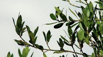 Parfumeaza-ti casa cu frunze de dafin