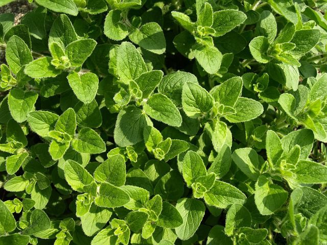 beneficii ceai de oregano
