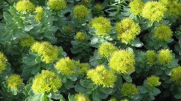 Rhodiola (Rhodiola Rosea), planta care combate depresia si sporeste imunitatea