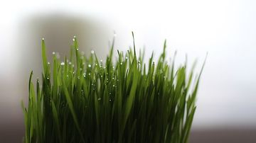 Un singur  pahar de suc de iarba de grâu pe zi ofera numeroase beneficii pentru sanatate