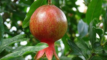 Rodia, fructul din Rai